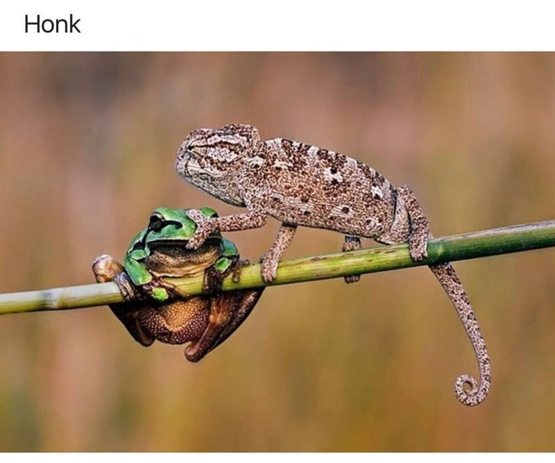 Chameleon - Honk