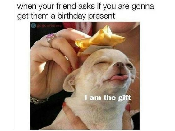 white chihuahua closing it's eyes poking out it's tongue with someone putting a birthday ribbon on it's head happy birthday meme