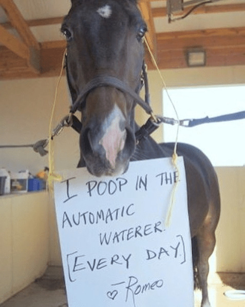 Horse - POOP IN THE AUTOMATIC WATERER EVERY DAY Pamee