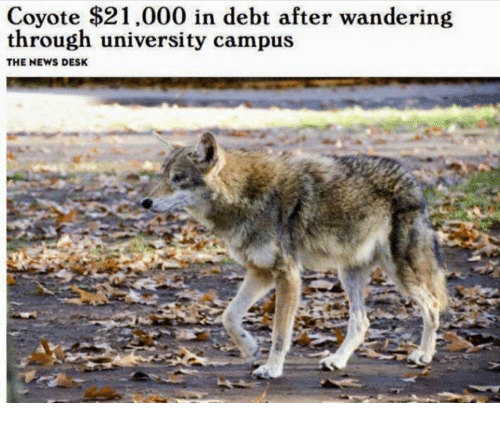 "Headline that reads, ""Coyote $21,000 in debt after wandering through university campus"""