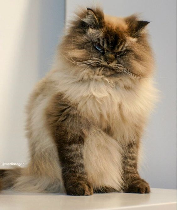 angry - Cat - @merlinragdoll