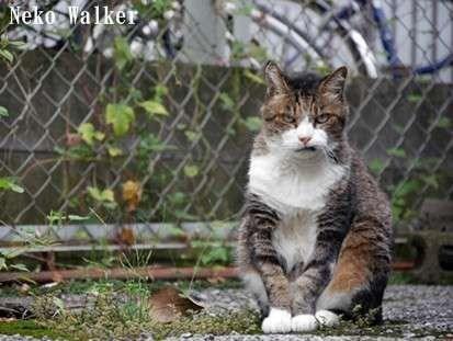 angry - Cat - Neko Walker