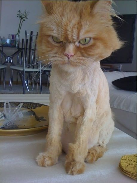angry - Cat