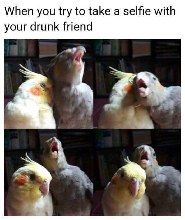 bird meme - Cockatiel - When you try to take a selfie with your drunk friend