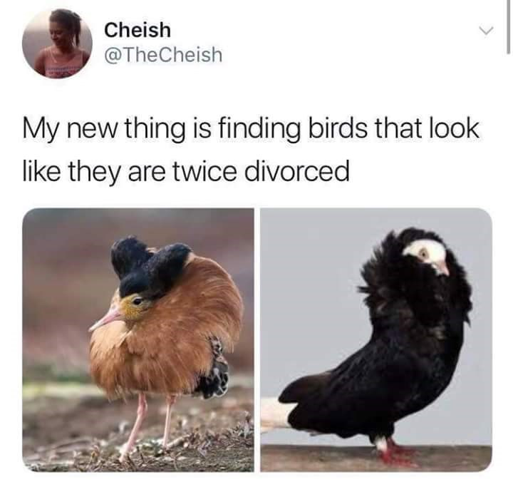 bird meme - Bird - Cheish @TheCheish My new thing is finding birds that look like they are twice divorced