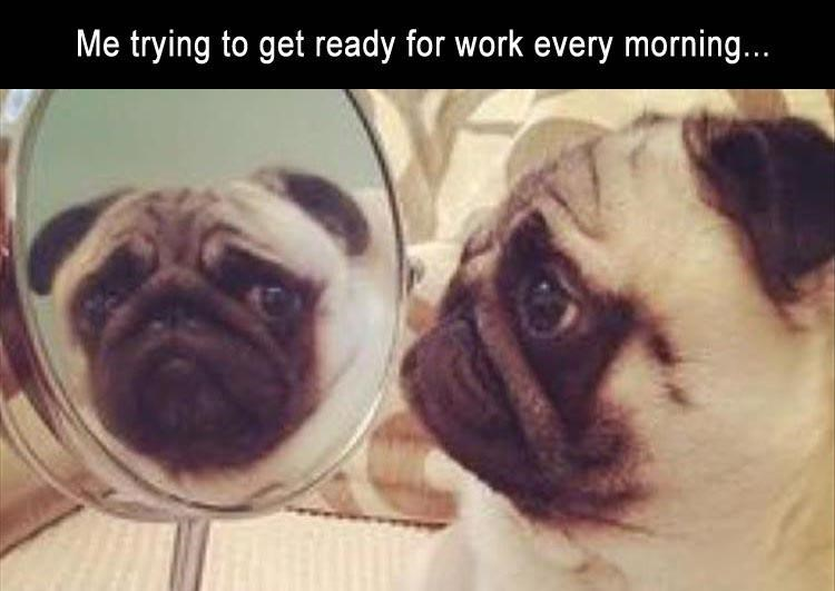 Pug - Me trying to get ready for work every morning...