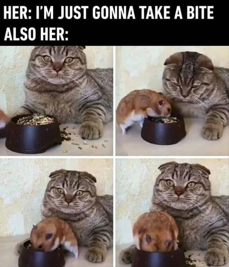 caturday meme about girls eating from their guys' plates with pics of hamster climbing inside cat's food bowl