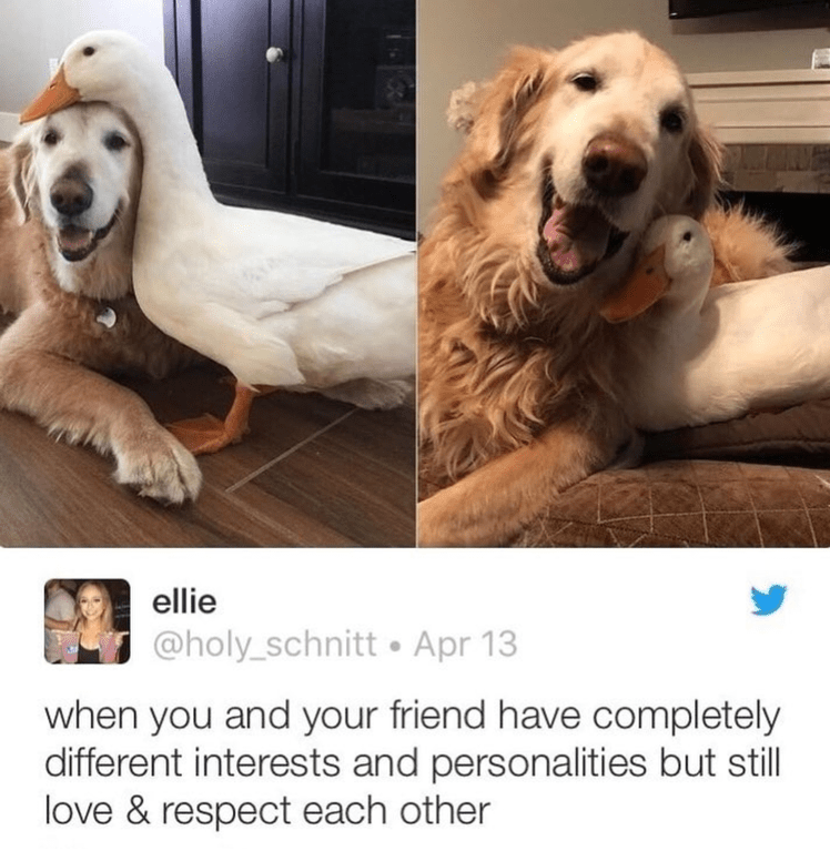 wholesome meme of a duck and a golden retriever cuddling