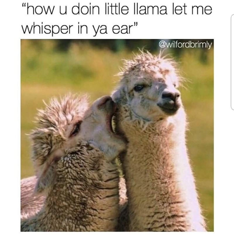 "Vertebrate - ""how u doin little llama let me whisper in ya ear"" @wilfordbrimly"
