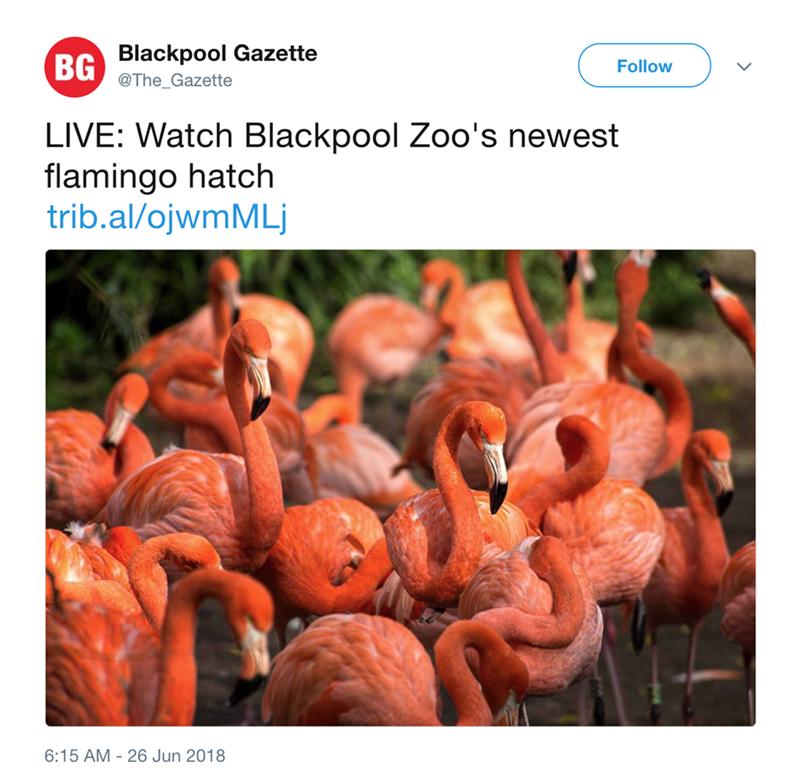 Flamingo - Blackpool Gazette BG Follow @The_Gazette LIVE: Watch Blackpool Zoo's newest flamingo hatch trib.al/ojwmMLj 6:15 AM - 26 Jun 2018