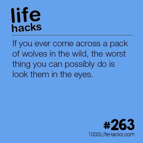 Text - life hacks If you ever come across a pack of wolves in the wild, the worst thing you can possibly do is look them in the eyes. #263 1000LifeHacks.com