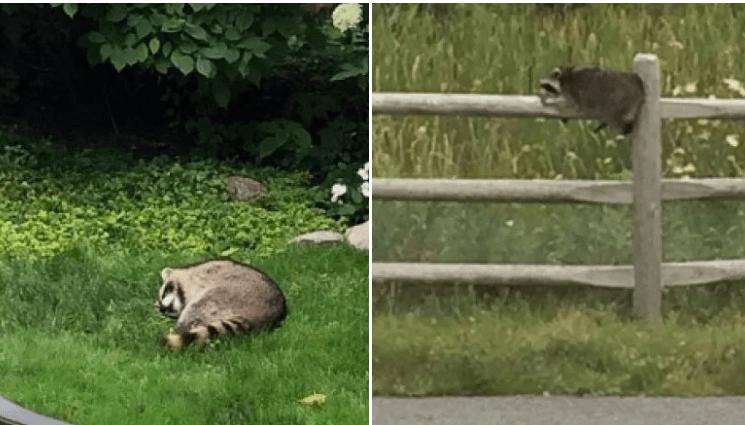 drunk raccoons
