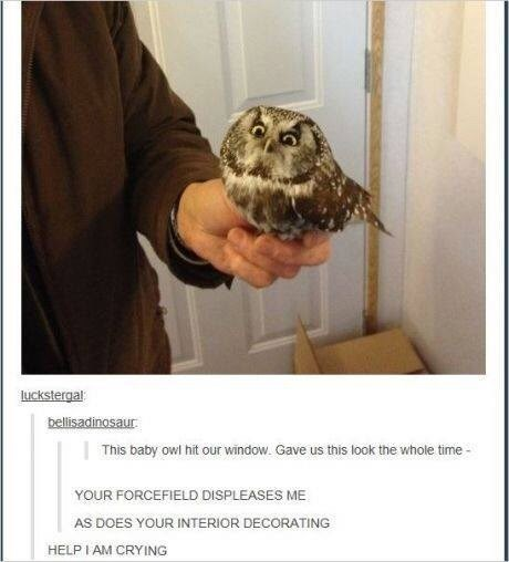 "Tumblr pic of an angry-looking baby owl with the caption, ""This baby owl hit our window. Gave us this look the whole time"""