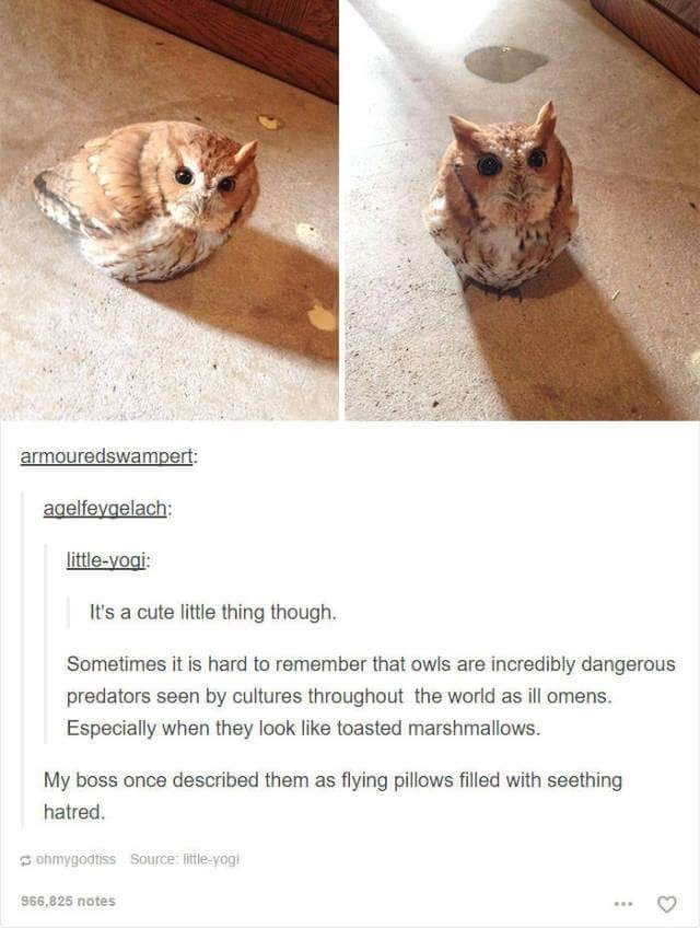 Owl - armouredswampert: agelfeygelach: little-yoai It's a cute little thing though. Sometimes it is hard to remember that owls are incredibly dangerous predators seen by cultures throughout the world as ill omens. Especially when they look like toasted marshmallows. My boss once described them as flying pillows filled with seething hatred. ohmygodtiss Source: litle-yogi 966,825 notes