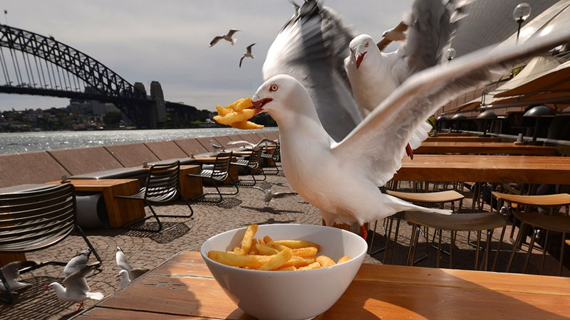 seagull stealing food