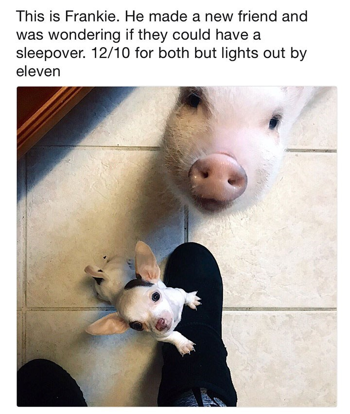 Domestic pig - This is Frankie. He made a new friend and was wondering if they could have a sleepover. 12/10 for both but lights out by eleven