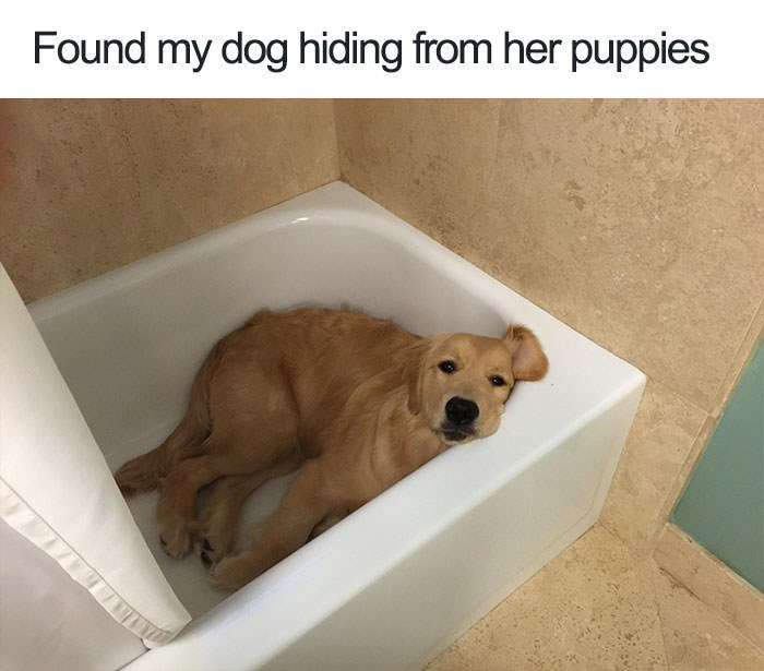 """Pic of a golden retriever lying in a bathtub under the caption, """"Found my dog hiding from her puppies"""""""