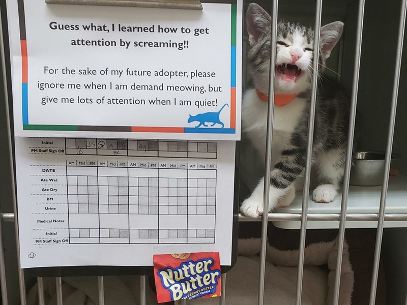 Cat - Guess what, I learned how to get attention by screaming!! For the sake of my future adopter, please ignore me when I am demand meowing, but give me lots of attention when I am quiet! Initial .. PM Staff Sign Off AM Mid PM AM Mid PM AM Mid PM AM Mid PM AM Mid PM DATE Ate Wet Ate Dry BM Urine Medical Notes . ... .. Initial PM Staff Sign Off Nter PEANUT BUTTER LOve
