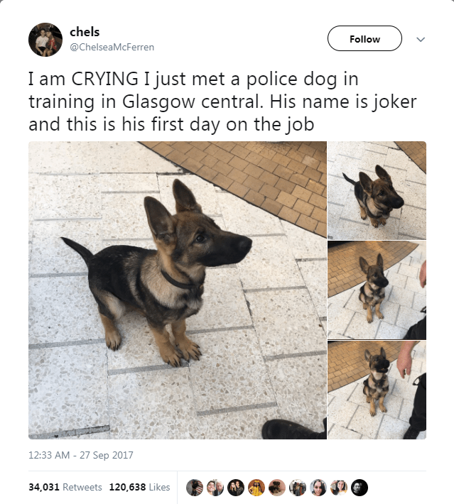 Dog - chels Follow @ChelseaMcFerren I am CRYING I just met a police dog in training in Glasgow central. His name is joker and this is his first day on the job 12:33 AM - 27 Sep 2017 34,031 Retweets 120,638 Likes