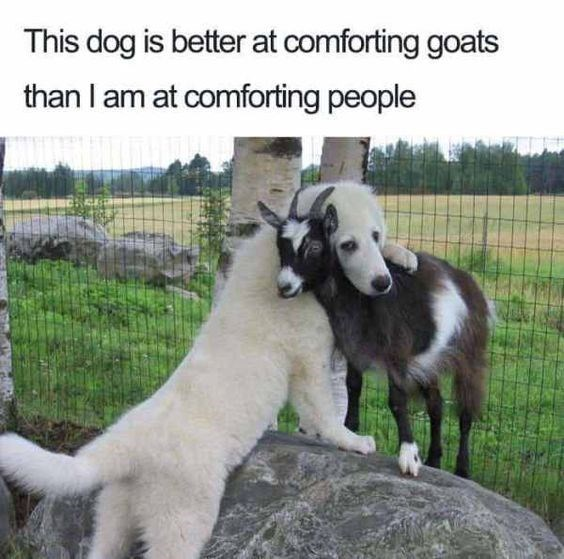 Mammal - This dog is better at comforting goats than I am at comforting people