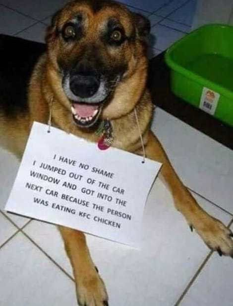 "German shepherd with a sign that reads, ""I have no shame so I jumped out of the car window and got into the next car because the person was eating KFC chicken"""