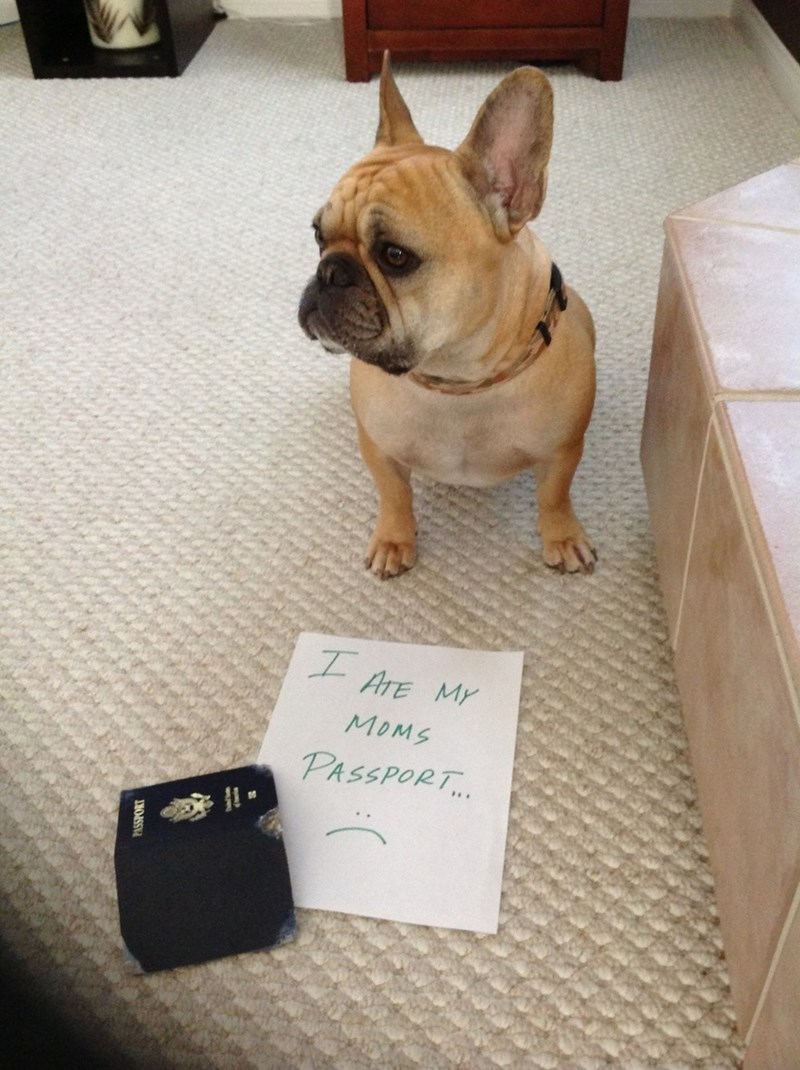 "French bulldog next to a sign that reads ""I ate my mom's passport"""