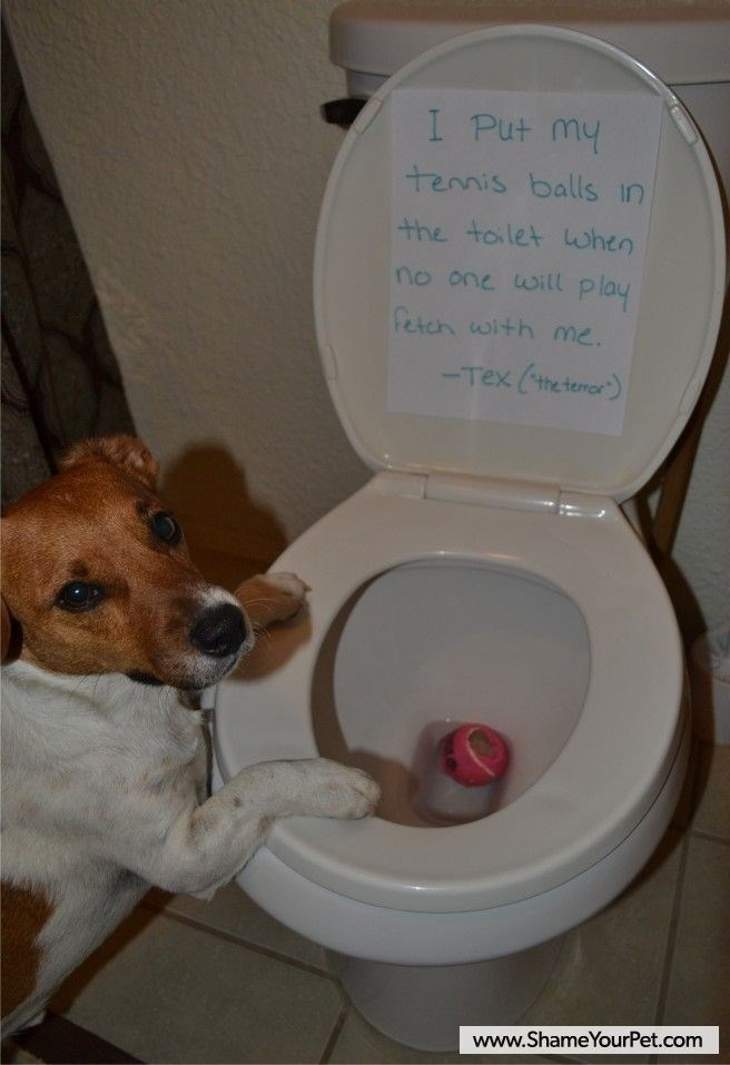 Toilet - I Put my tenis balls in the toilet when no one will play fetch with me -Tex (theteno) www.ShameYourPet.com