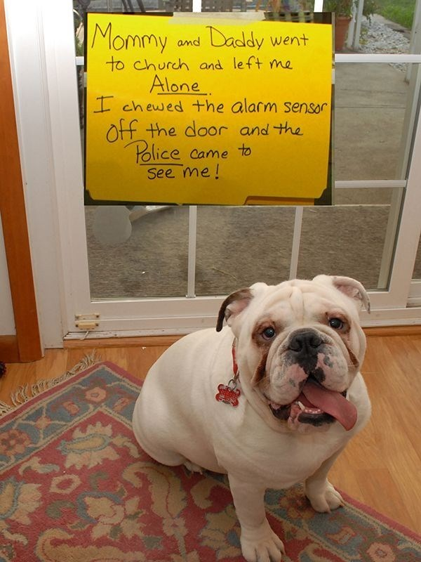 Dog - Mommy Daddy went and to church and left me Alone I chewed +he alarm sensor Off the door and the Police Came to See me!