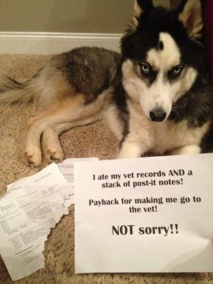 Mammal - I ate my vet records AND a stack of post-it notes! Payback for making me go to the vet! NOT sorry!!