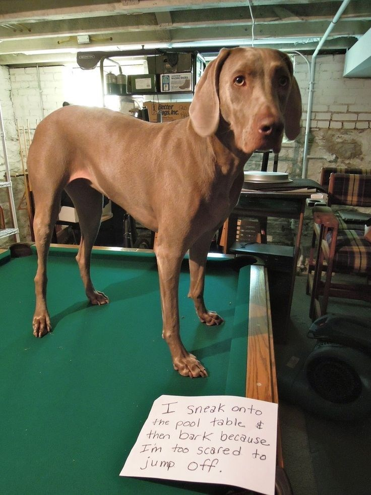 Dog - Better Bas inc. ISneak onto the pool table then bark because Im too Scared to jump off