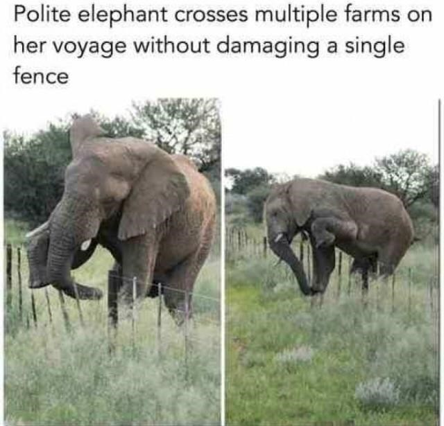 wholesome meme of an elephant that makes sure to cross over a fence without damaging it