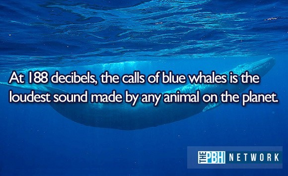 Marine biology - At 188 decibels, the calls of blue whales is the loudest sound made by any animal on the planet. TEPBHI NETWORK