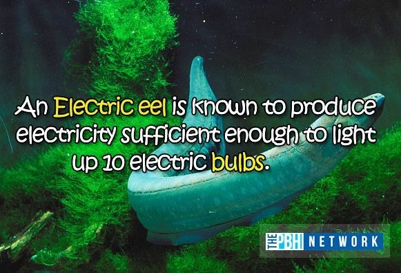 Organism - An Electric eel is known to produce electricity sufficient enough to light up 10 electric bulbs. BHNETWORK