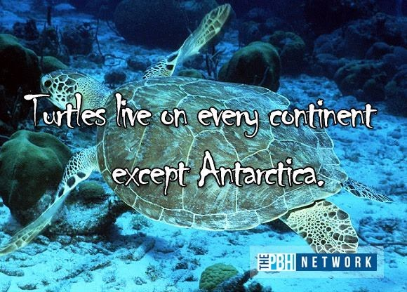 Sea turtle - Twles he en every cntinent cept Awarcica EBH NETWORK