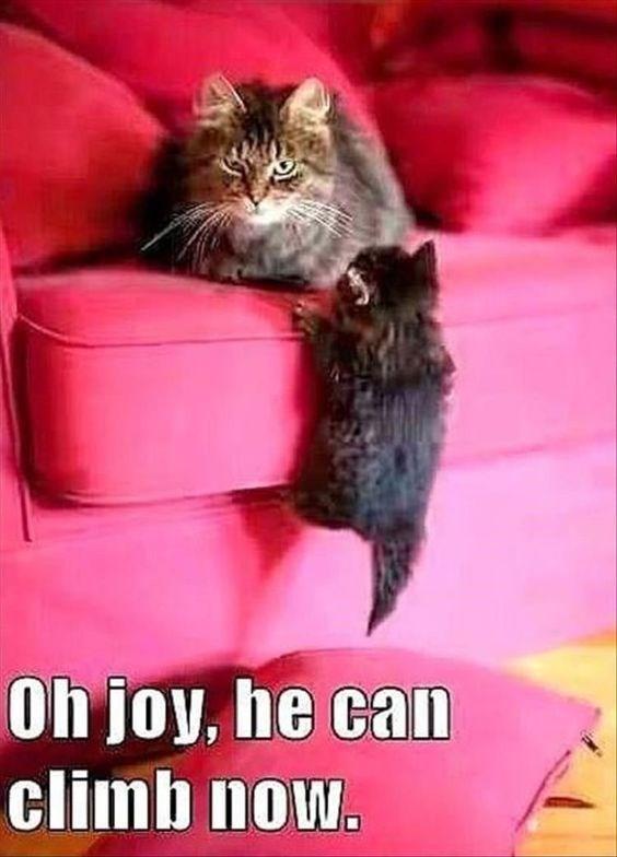 Cat - Oh joy, he can climb now.