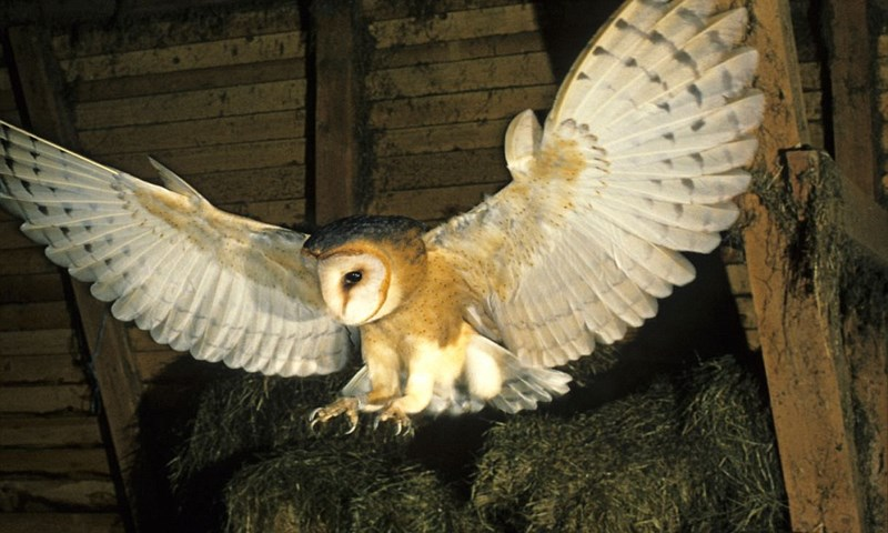 White Barn Owls Have a Fascinating Way To Startle Prey Using the Light of the Moon