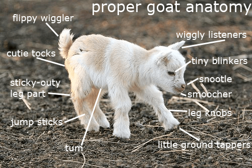 baby goat meme about the anatomy of a goat