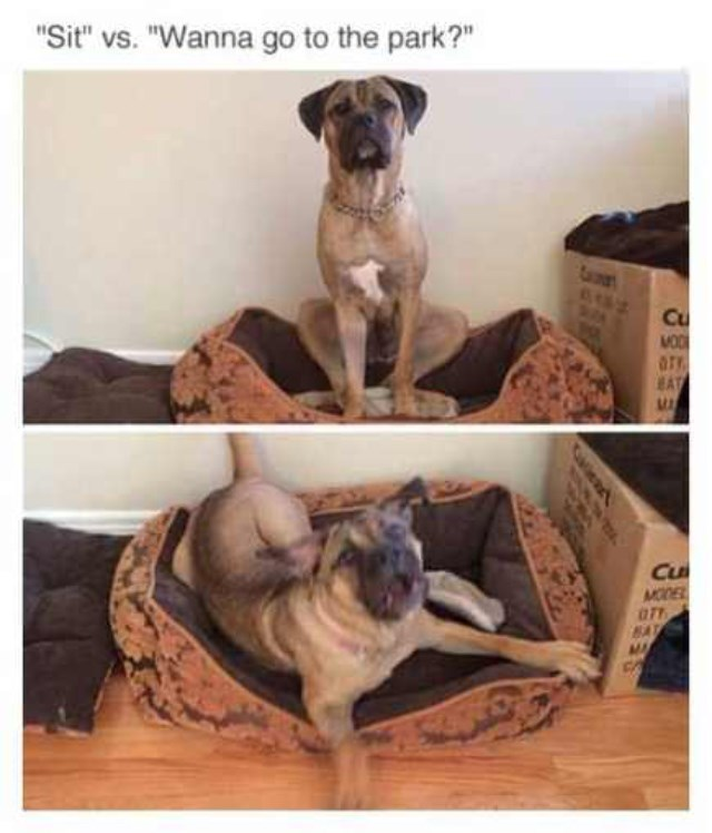"Caption reads, ""Sit vs. Wanna go to the park?"" above two pictures of a dog sitting, and one of him going crazy"
