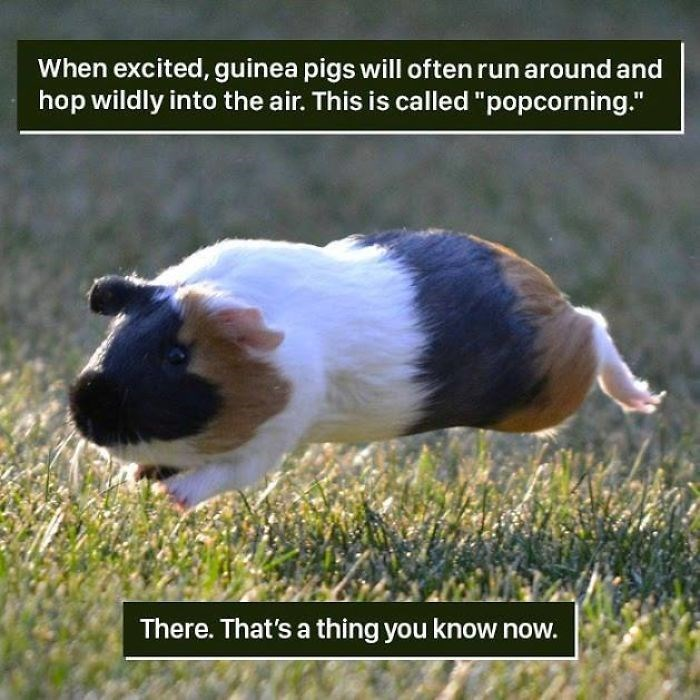 """Guinea pig - When excited, guinea pigs will often run around and hop wildly into the air. This is called """"popcorning."""" There. That's a thing you know now."""