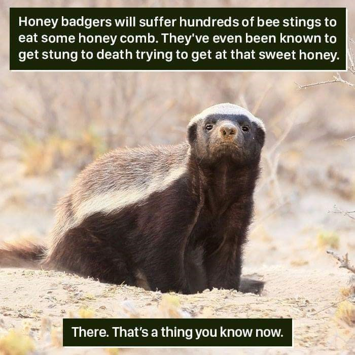 Vertebrate - Honey badgers will suffer hundreds of bee stings to eat some honey comb. They've even been known to get stung to death trying to get at that sweet honey. There. That's a thing you know now.
