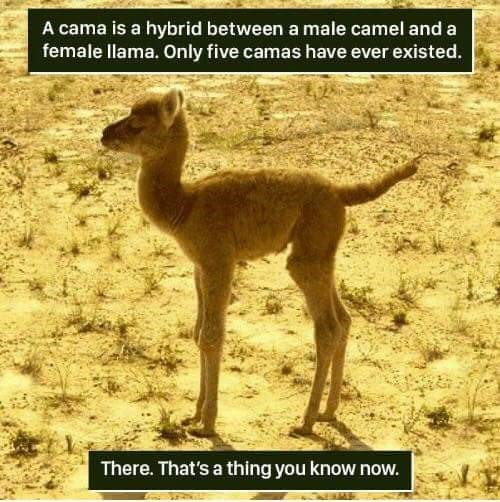 Terrestrial animal - A cama is a hybrid between a male camel and a female llama. Only five camas have ever existed. There. That's a thing you know now.