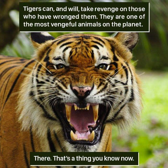 Tiger - Tigers can, and will, take revenge on those who have wronged them. They are one of the most vengeful animals on the planet. There. That's a thing you know now.