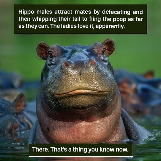 Adaptation - Hippo males attract mates by defecating and then whipping their tail to fling the poop as far as they can. The ladies love it, apparently There. That's a thing you know now.