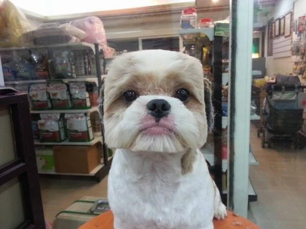 Funny pic of a dog with a boxy haircut