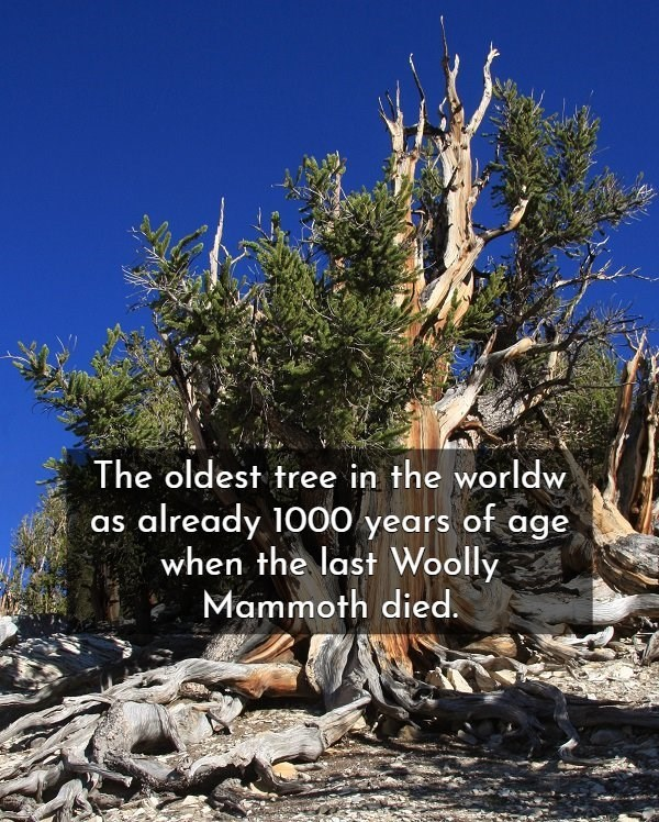 sugar pine - The oldest tree in the worldw already 1000 years of age when the last Woolly Mammoth died as