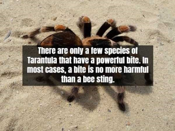 Tarantula - There are only a few species of Tarantula that have a powerful bite. In most cases, a bite is no more harmful than a bee sting.