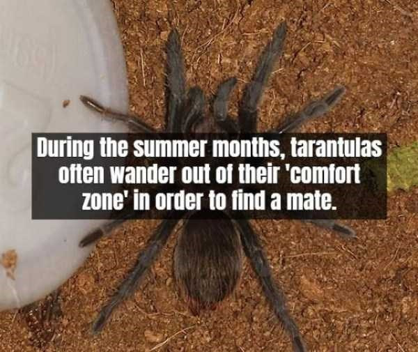 Tarantula - During the summer months, tarantulas often wander out of their 'comfort zone' in order to find a mate.