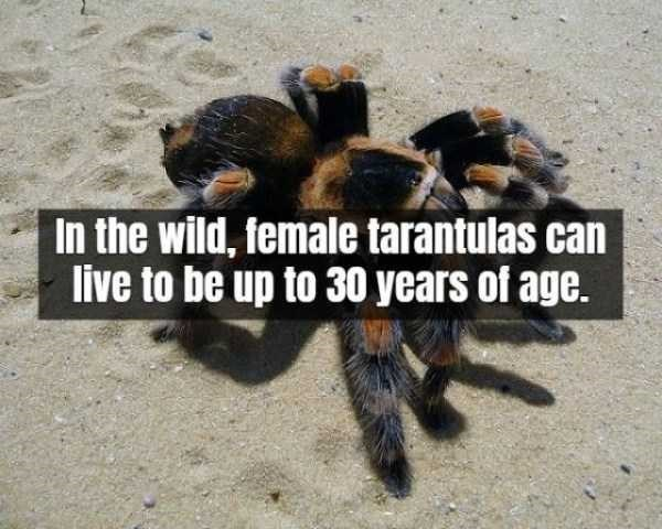 Tarantula - In the wild, female tarantulas can live to be up to 30 years of age.