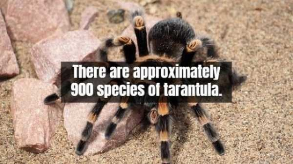 Tarantula - There are approximately 900species of tarantula.