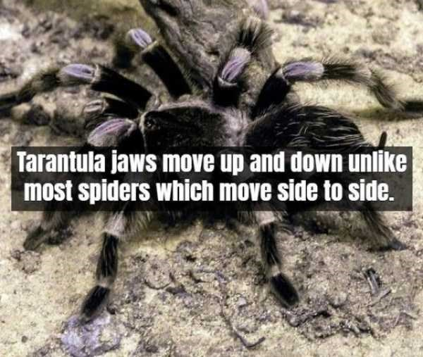 Tarantula - Tarantula jaws move up and down unlike most spiders which move side to side.